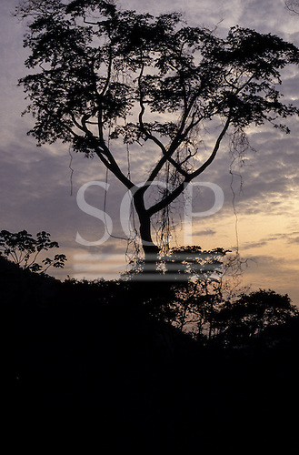Amazon, Brazil. Tall rainforest tree in silhouette against the evening dusk sky.