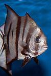 Atlantic Spadefish swimming right vertical