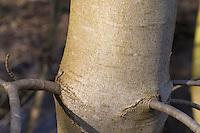 Berg-Ahorn, Rinde, Borke, Stamm, Baumstamm, Bergahorn, Ahorn, Acer pseudoplatanus, Sycamore, Erable sycomore, bark, rind
