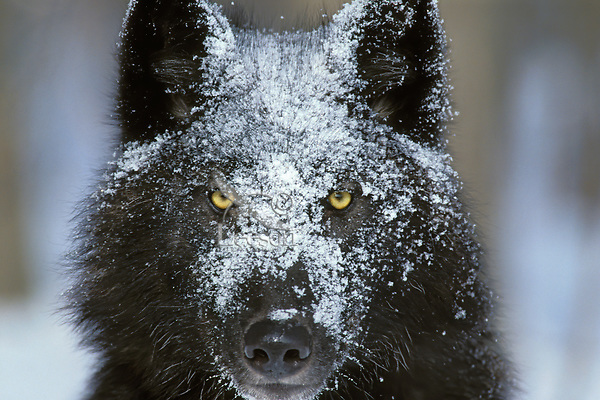 Black phase of Gray Wolf with snow on face.