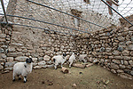 Sheep / domestic stock pen / corral covered with chain-mail to protect against attacks from snow leopards (Panthera uncia). This has cut predation of domestic animals by 90%. Ulley Valley, Himalayas, Ladakh, northern India.