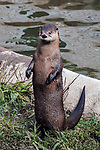 River Otter standing on hind legs, vertical