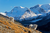 Mountain goats (Oreamnos americanus).  October, Northern Rockies.