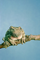 The Tree frog, Hyla versicolor close up, face view, looking wise perched on small branch