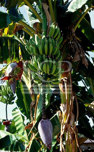 Brazil. Bananas and banana flower on the tree (Musa sapientum) .
