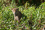 A jaguar sits in the jungle foliage near the fork of the Three Brothers River in the Pantanal of Brazil.