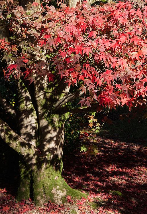 Japanese maple (Acer palmatum), late October.