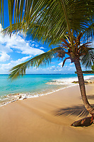 Beautiful Discovery Bay golden sand beach, with a coconut tree above the turquoise Caribbean Sea, under a blue sky with white clouds, Barbados Island