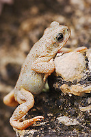 Red-spotted Toad, Bufo punctatus, adult on limestone, Uvalde County, Hill Country, Texas, USA, April 2006