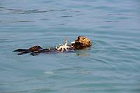 sea otter, Enhydra lutris kenyoni, eating a snow crab, Chionoecetes opilio, in Kenai Fjords National Park, Resurrection Bay, Alaska, USA