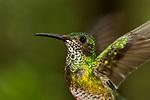 White-necked Jacobin (Florisuga mellivora) hummingbird female flapping wings, Panama Rainforest Discovery Center, Gamboa, Panama