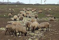 Sheep feeding on vegetable waste Lancashire.