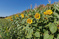 Bird cover created with sorghum, sunflowers & maize - Lincolnshire, September