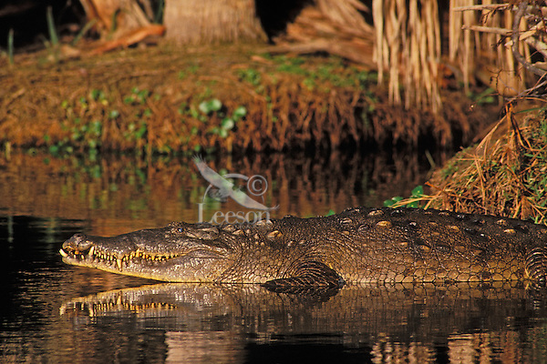 American crocodile (Crocodylus acutus), Florida, Enangered Species.