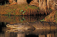 American crocodile (Crocodylus acutus), Florida, Enangered Species.