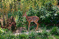 White tailed deer fawn, Odocoileus virginianus, stands inside vegetable garden fence looking vaguely guilty