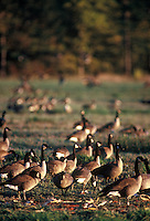 Canada Geese , take refuge in corn field