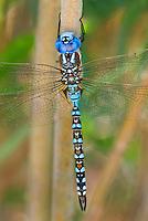 339360049 a wild male blue-eyed darner rhionaeschna multicolor perches on a tree limb near jean blanc road canal in  inyo county california