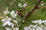 Hummingbird Clearwing Moth taking nectar from a blackberry bush