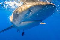 face of oceanic whitetip shark, Carcharhinus longimanus, Hawaii, Pacific Ocean (do)