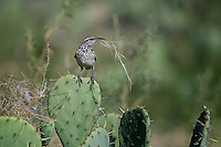 Cactus Wren with nesting material, San Angelo State Park, Texas
