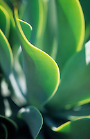 Europe/Espagne/Canaries/Lanzarote/Guatiza : Le jardin de cactus conçu par Cesar Manrique