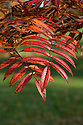 Autumn foliage of Sorbus esserteauana x s. scalaris (syn. Sorbus conradinae), early November.