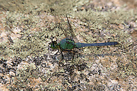 Eastern Pondhawk (Erythemis simplicicollis) Dragonfly - Male, Doodletown Road, Bear Mountain State Park, Stony Point, Rockland County, New York