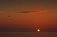 Seagull flies across horizon at sunset