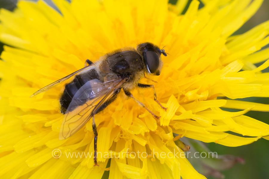 Gemeine Keilfleckschwebfliege, Gemeine Keilfleck-Schwebfliege, Keilfleckschwebfliege, Keilfleck-Schwebfliege, Lange Bienen-Schwebfliege, Lange Bienenschwebfliege, Weibchen, Eristalis pertinax, Eoseristalis pertinax, drone fly, Tapered Drone Fly, female, L'éristale opiniâtre