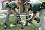 Carson City Sheriff's deputies Charles Stetler, left, and Dan Ochsenschlager cool off an unconscious bear cub Wednesday afternoon, Aug. 29, 2007, in Carson City, Nev. A mother bear and two male cubs were tranquilized after roaming around a neighborhood all day. Nevada Department of Wildlife biologists, who tagged, tattooed, took hair and blood samples, said the family will be relocated in the Carson Range..Photo by Cathleen Allison/Copyright Nevada Appeal