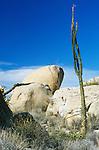 Boojum (Cirio) at Catvina Rock Garden, Baja California, Mexico