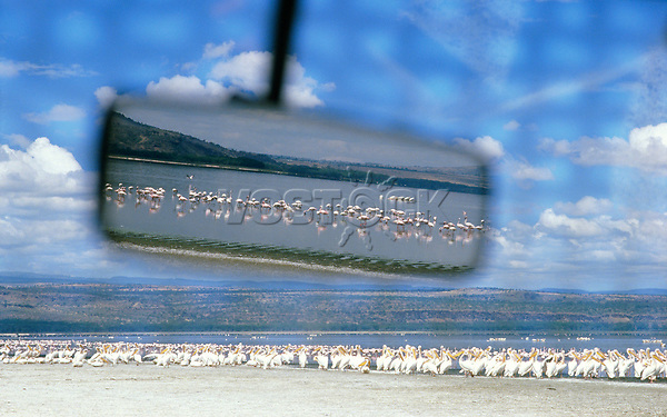 View of pelicans and flamingos in rearview mirror