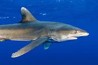 oceanic whitetip shark, Carcharhinus longimanus, with trailing fishing leader, Hawaii, USA, Pacific Ocean
