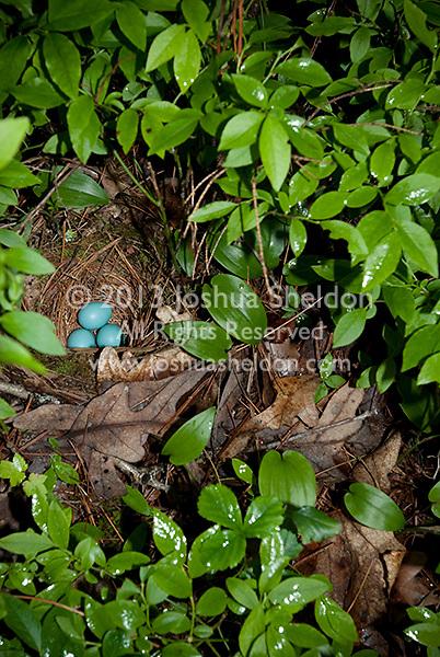 Blue Robin eggs in nest