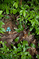 Blue Robin eggs in nest