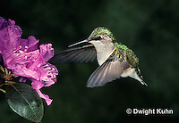 HU11-001x  Ruby-throated Hummingbird - female drinking nectar from rhododendron flower as it hovers in air -  Archilochus colubris