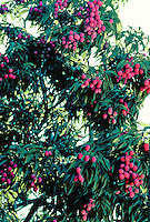 Close-up of a tree laden with red, ripe lychee fruits.