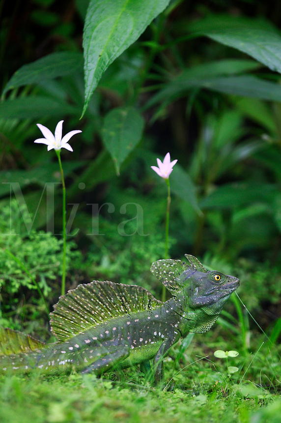 A male Green Basilisk Lizard, also known as a Jesus Christ Lizard because of their ability to walk on water, Tabacon Hot Spring Resort and Spa, Costa Rica. (Basiliscus plumifrons