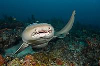 Nurse Shark (Ginglymostoma cirratum) in Palm Beach County, Florida, USA, Atlantic Ocean