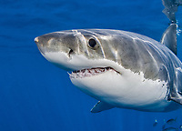 Great white shark, Carcharodon carcharias, Ilse da Gaudalupe, Mexico, Pacific Ocean