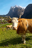 Milk Cow on Alpine Pasture above Grinderwald - Swiss Alps - Switzerland