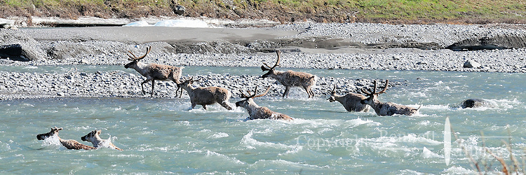 A group of caribou crosses the Kongakut River during their annual migration to the coastal plain in Alaska's Arctic National Wildlife Refuge.