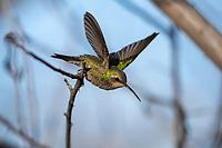 Broad-billed Hummingbird (Cynanthus latirostris magicus), Northern subspecies group, female taking flight at the Desert Meadows Park, Green Valley, Arizona.