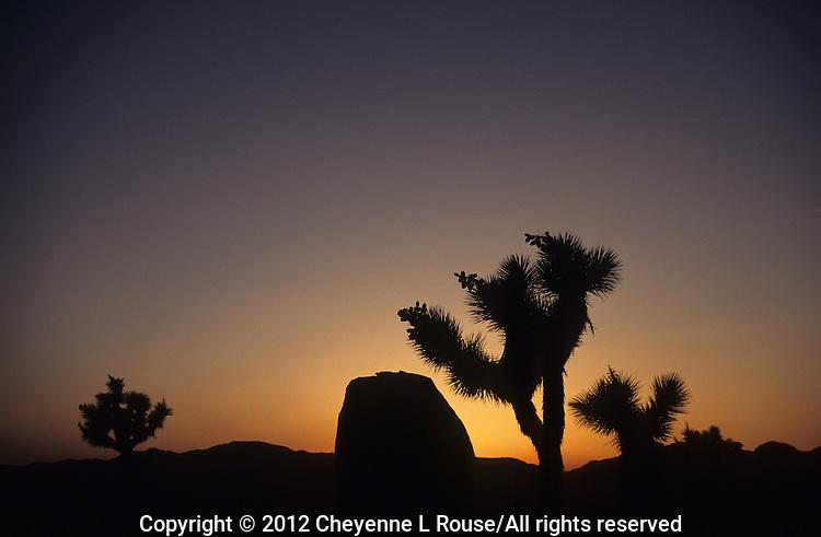 Joshua Tree Silhouette - Joshua Tree NP, California
