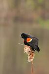 red winged blackbird singing