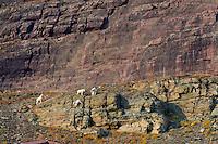 Mountain Goats (Oreamnos americanus).  Glacier National Park, Montana.  Sept.