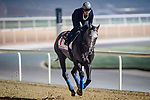 DUBAI, UAE - MARCH 23: Arrogate on the track at Meydan Race Track in preparation for the Dubai World Cup Race on March 23, 2017 in Dubai, UAE. (Photo by Douglas DeFelice/Eclipse Sportswire/Getty Images)