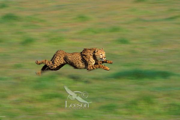 Cheetah (Acinonyx jubatus).  Fastest land mammal.