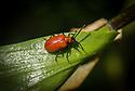 Lily beetle (Lilioceris lilii), late June.